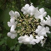 HALO FLOWER