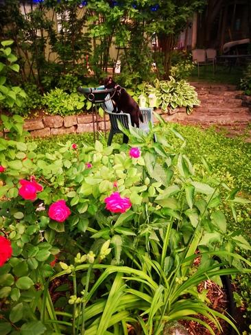 Roses et bain de chat Québec, QC