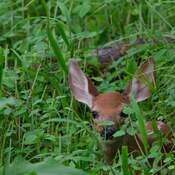 Too big ears to be hidden