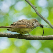 Flycatcher with Lunch