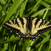 Un beau papillon Monarque