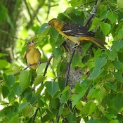 Oriole chick and mom