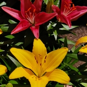 June 23 2021 20C Welcome summer! Pretty Lilies embrace the sun! Thornhill