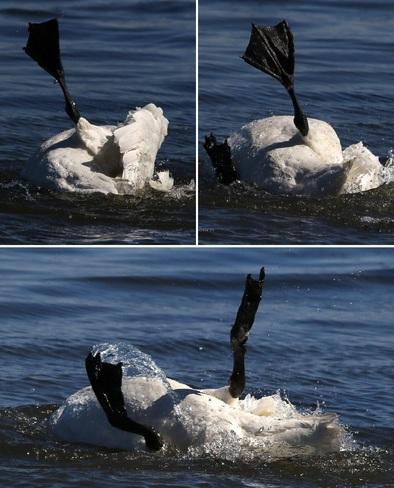 2021-06-23 - Trumpeter Swan bathing in Esquimalt Lagoon Esquimalt Lagoon, Colwood, BC