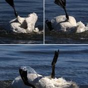 2021-06-23 - Trumpeter Swan bathing in Esquimalt Lagoon