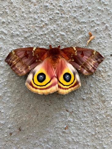 Automeris Genus Princeton, New Jersey, US