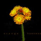 Orange hawkweed, Elliot Lake.