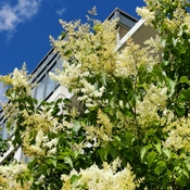 June 24 2021 25C I love Summer! Japanese lilac embraces the blue sky -Thornhill