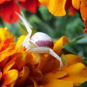 Jolie araignée crabe