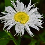 Marguerite après la pluie