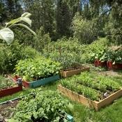 Les légumes bientôt là.
