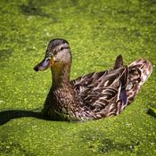Baignade en eaux vertes