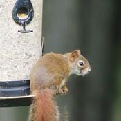 Écureuil qui se prend pour un oiseau