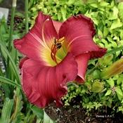 Fleur d'Hémérocalle .
