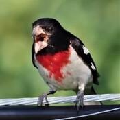 Cardinal à poitrine rose Wow wow