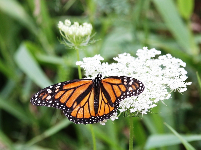 Just another monarch monday Brampton, ON
