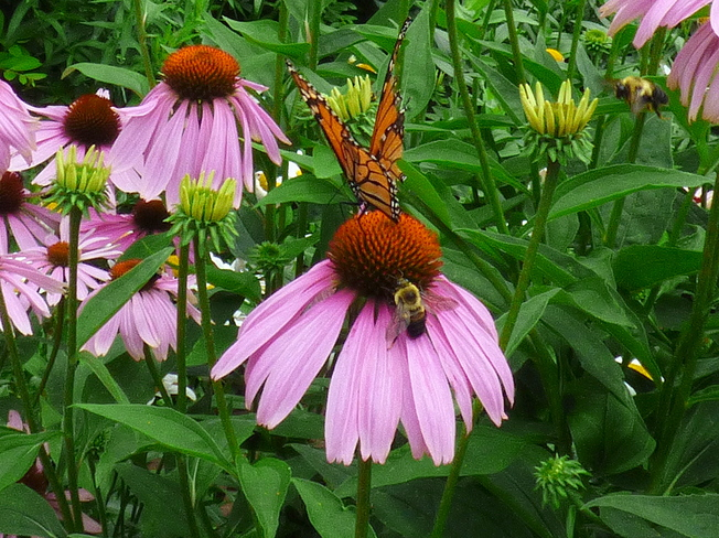 MONARCH AND BEE SHARING ECHINACEA Edwards Gardens, Lawrence Avenue East, North York, ON