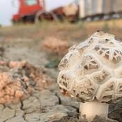 Mushroom in a potato patch