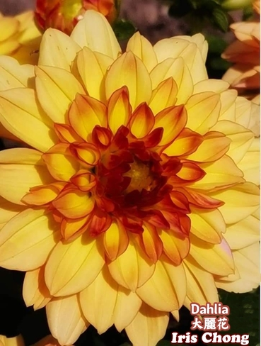 July 20 2021 24C Happy Tuesday:) Pretty Dahlia embraces the sun in Thornhill Thornhill, ON