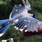 Le bleu et le sumac de vinaigrier