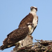 Osprey On the Look Out