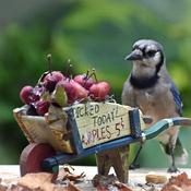 Blue Jay eyes the apples.