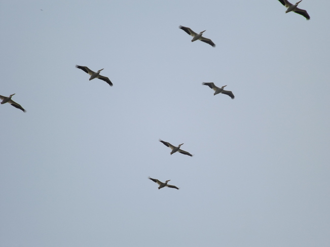 PELICANS on the FLY Whiskey Jack Crescent, Thunder Bay, ON P7J, Canada