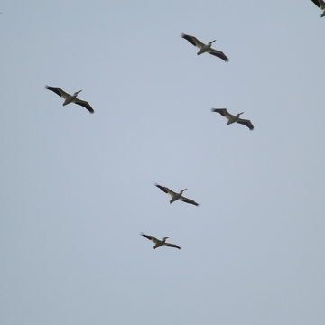 PELICANS on the FLY