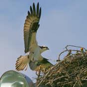 2021-07-20 - Osprey, returning to nest to feed, at Esquimalt Lagoon