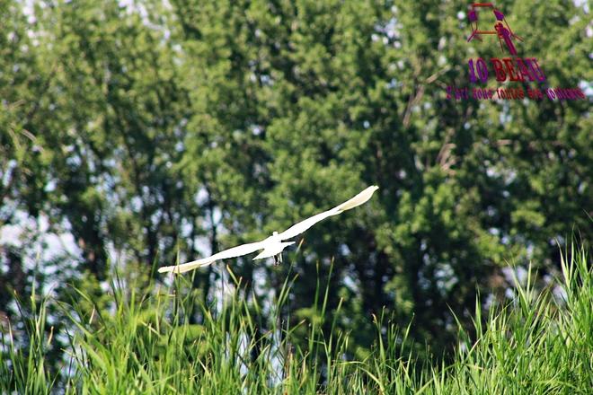 Héron en plein vole Montréal, Québec, CA