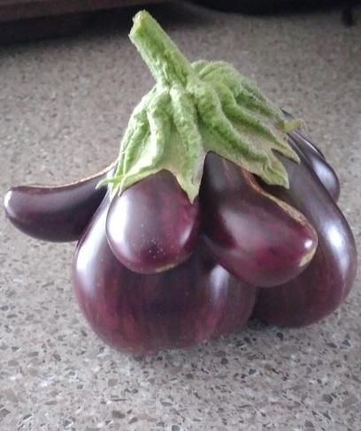 Une autre aubergine mutante! Saint-Jérôme, QC