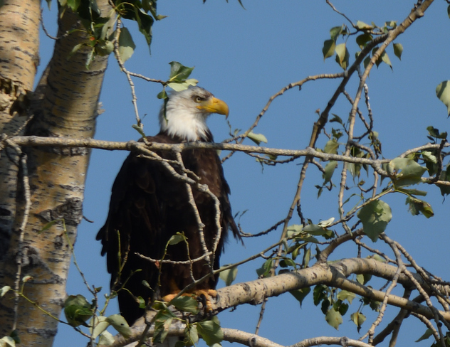 Balld Eagle sitting in a tree Canal Flats, BC