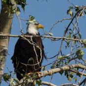 Balld Eagle sitting in a tree