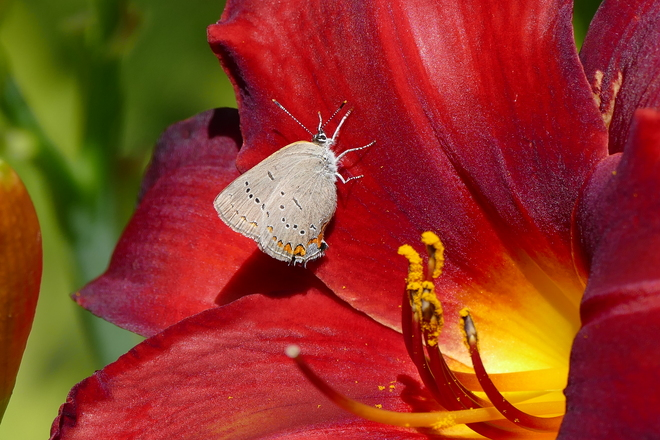 Red velvet daylily with butterfly Dufferin County, ON