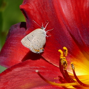 Red velvet daylily with butterfly
