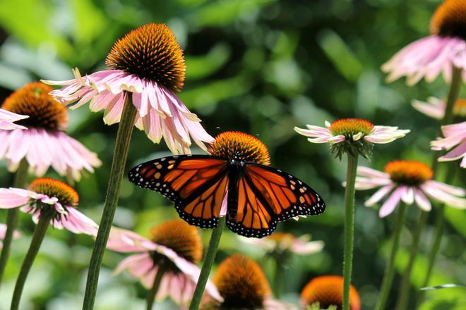 Monarch Butterfly London, ON