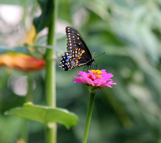 Swallowtail butterfly London, ON