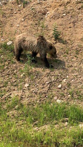 Bear Wrentham, AB