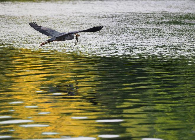 Heron in Flight Gelert, ON