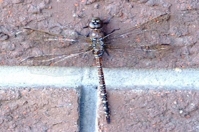 Grand Daddy Dragonfly Leduc, AB