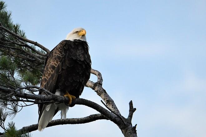 Eagle Petawawa, ON