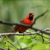 Cardinal mâle