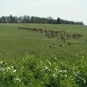 Wild Elk on the Run ...