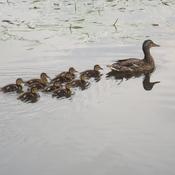10 BABY MALLARDS