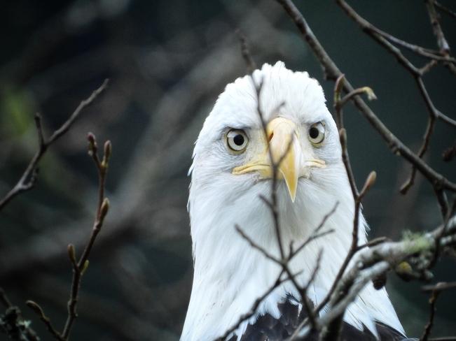 Eagle Stare-down Indian River, British Columbia, CA