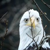Eagle Stare-down