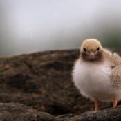 Wee Little Tern.