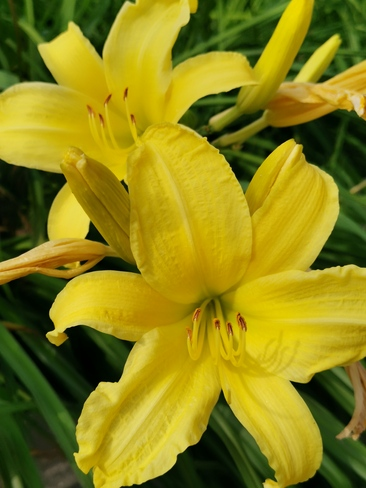 July 23 2021 Happy Friday!:)Yellow Daylilies bringsjoy, love and beauty Thornhill, ON