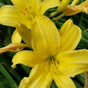 July 23 2021 Happy Friday!:)Yellow Daylilies bringsjoy, love and beauty