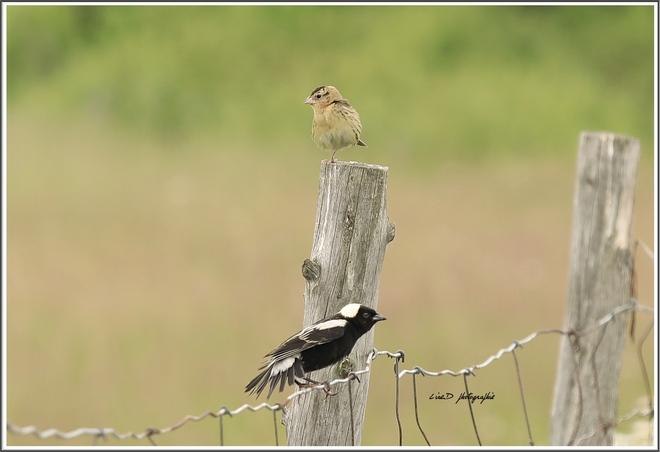 Oiseau, Beauceville, QC